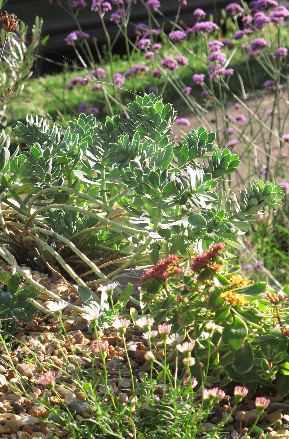 Green roof plants, Euphorbia, sedum, Erigeron karvinskianus,