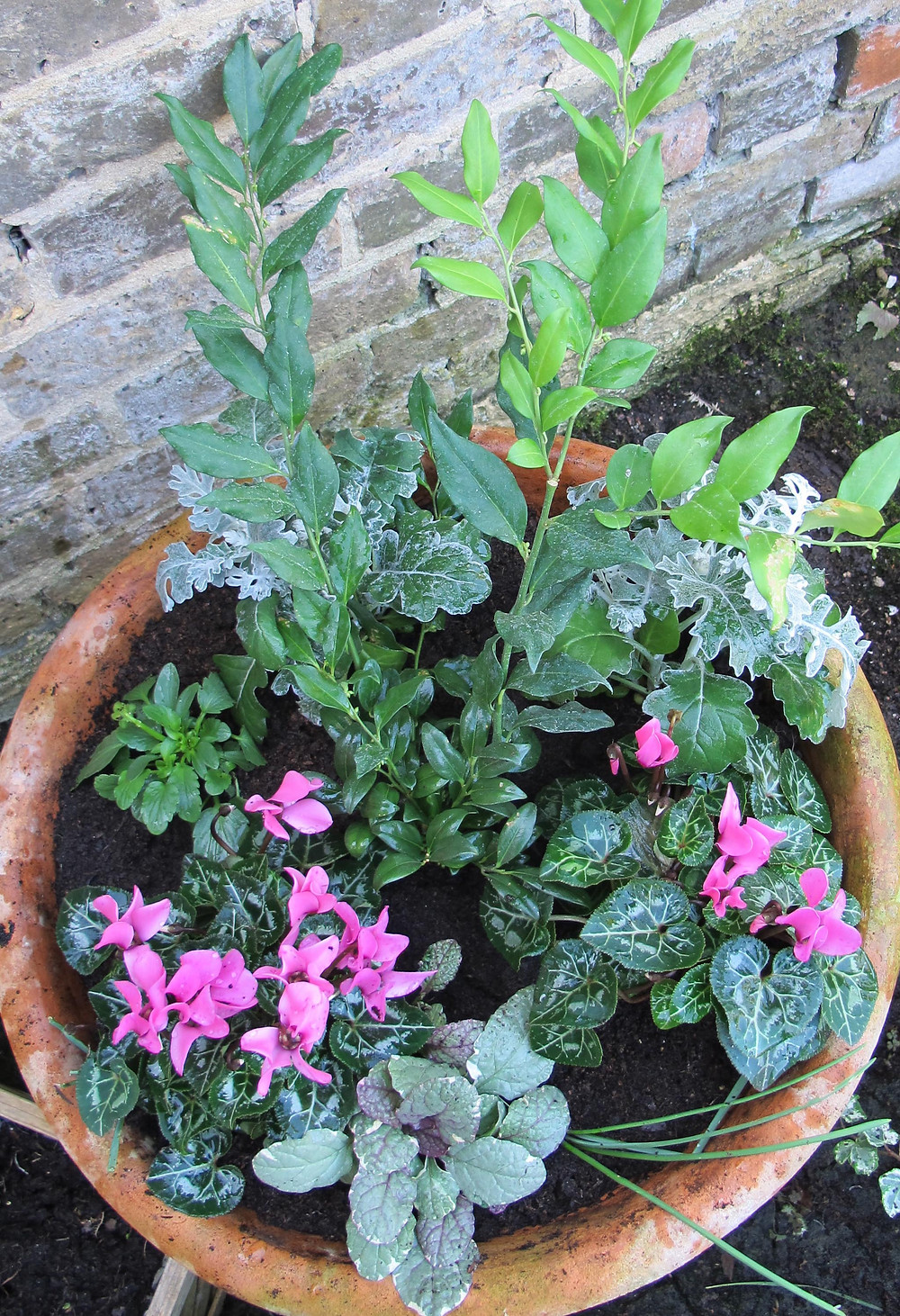cyclamen, winter flowers, sarcococca, scented plant, pink flowers, container planting,