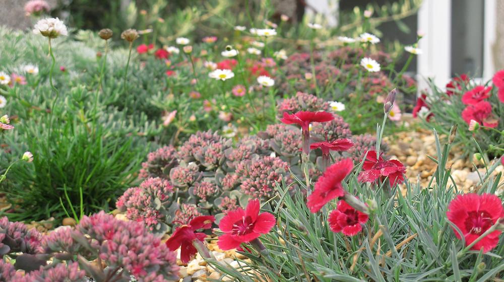 Alpines, Herbs, Dianthus, sedum, thrift, daisies, Erigeron karvinskianus, gravel, green roof plants,