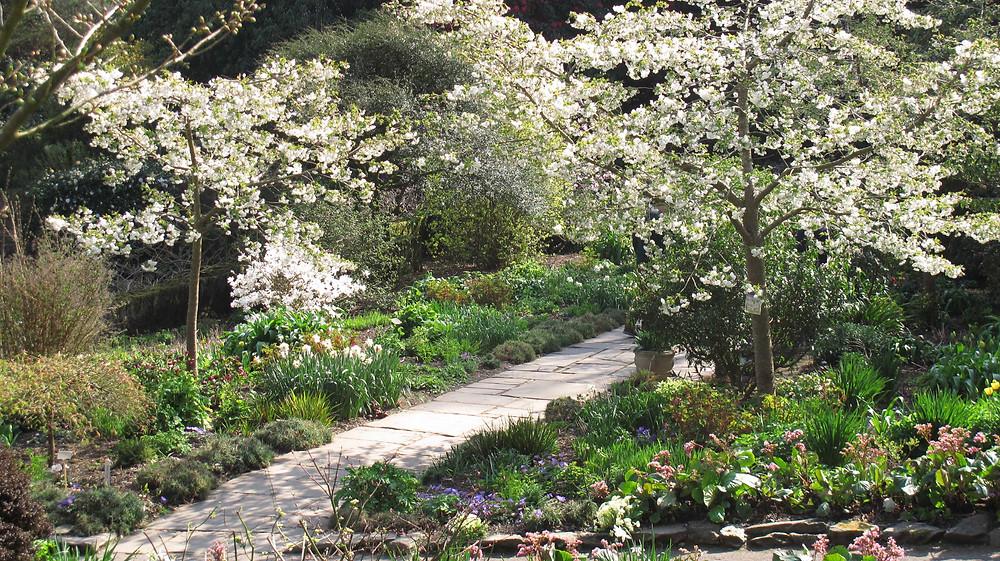 spring blossom, cherry blossom, garden path,