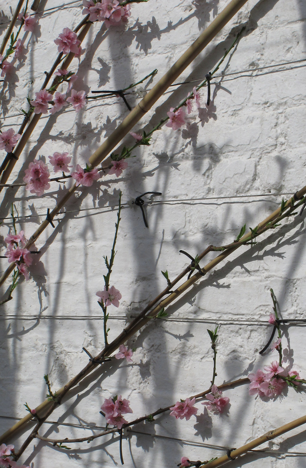 cherry blossom, fan trained fruit tree,