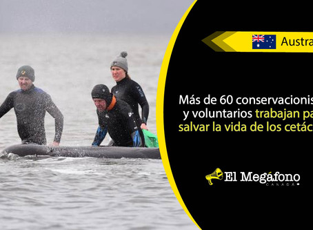 Al menos 380 ballenas murieron atrapadas en la costa oeste de Tasmania