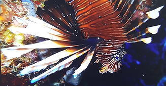 Lionfish Closeup.jpg