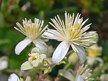 Clematis icon.JPG