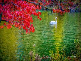 LakeJunaluska-SwanReflections2.jpg
