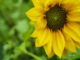 PerfectSunflower.jpg