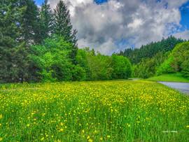 YellowFlowersOffBlueRidgeParkway.jpg