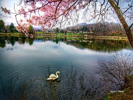 LakeJunaluska-SpringSwan.jpg