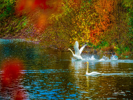 LakeJunaluska-SwanReflections1.jpg