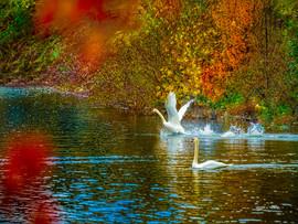 LakeJunaluska-SwanReflections1.jpg