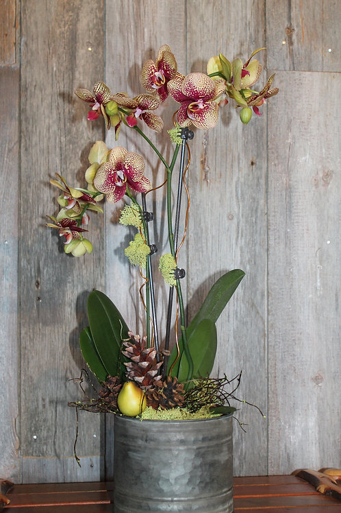 302 - Live Potted Purple Speckled Orchid