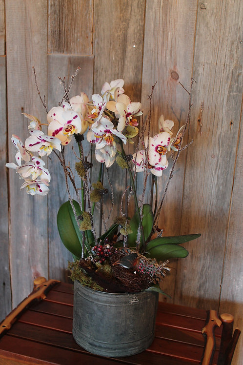 303 - Live Potted White with Purple Fleck Orchid