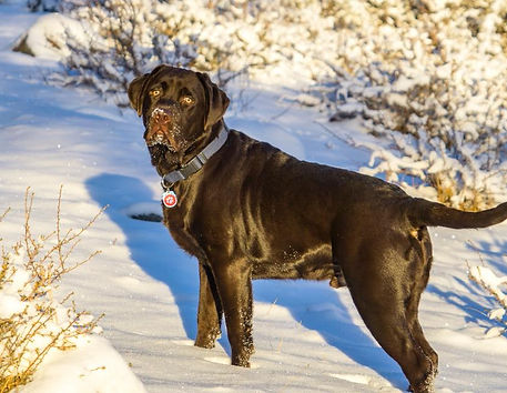 Bayside Labradors | Labrador breeders Florida | Puppies for sale