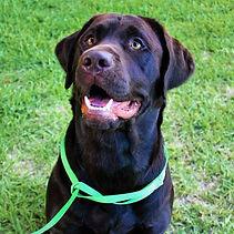Tru-Hearts Chocolate Labrador Ellie