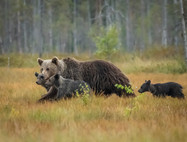 Mom with the three cubs