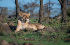 Lioness resting in the sun