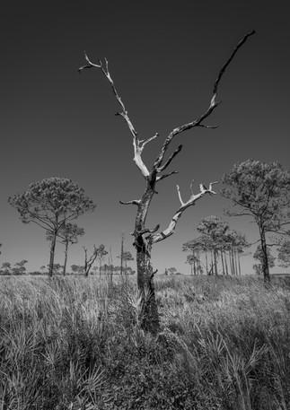 A dead tree amongst live ones