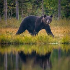 Big male strolling along the lake