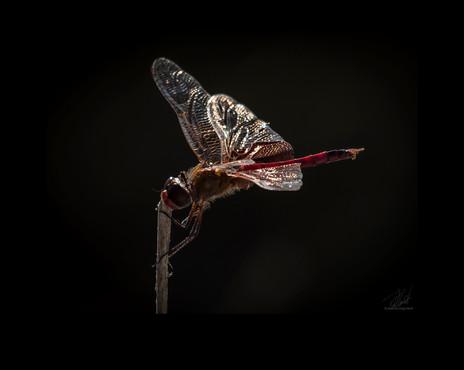 Backlit dragonfly
