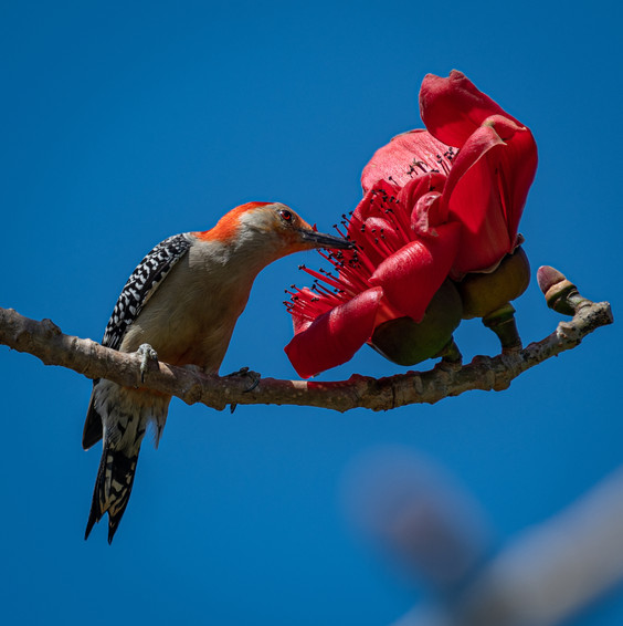 A red bellied woodpecker
