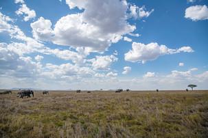Elephants crossing the serengeti