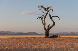 Gnarly tree in the desert