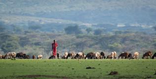 Maasai sheep herder