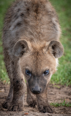 Curious Hyena Pup
