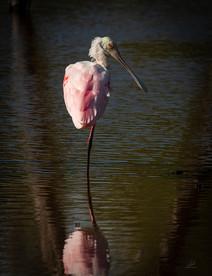 Balancing roseate spoonbill