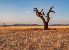 two dead trees in the desert