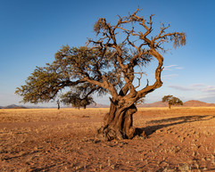 a gnarly tree in the desert