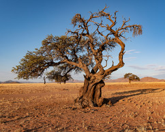 Weathered Desert Tree