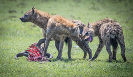 Fighting for the last of the meal