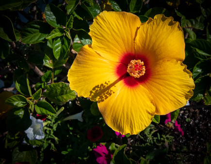 A bright yellow hibiscus