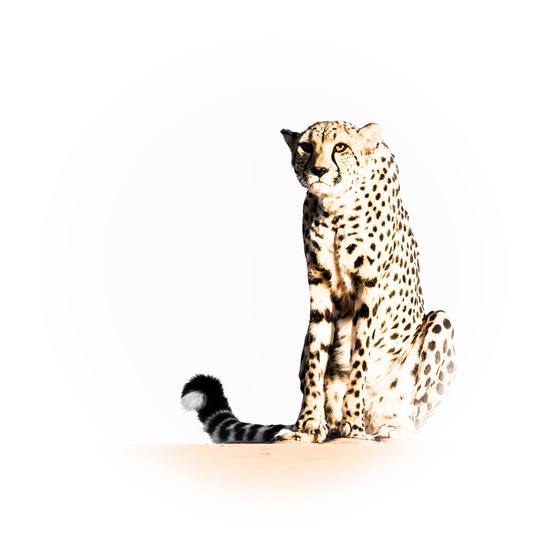 High-key cheetah