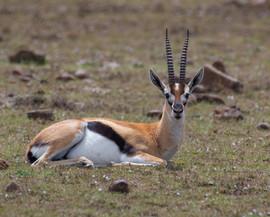 Resting Thompson gazelle