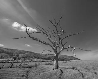Porlock petrified tree