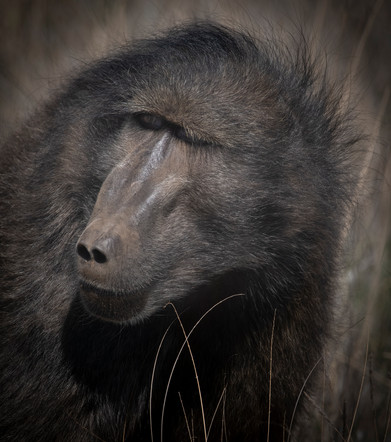 A serious looking Baboon