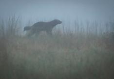 Wolverine in the mist