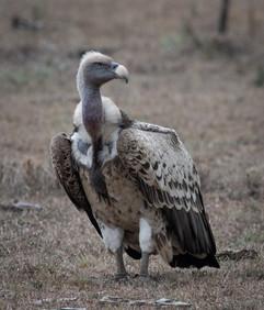 Whiteback vulture