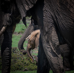 A well protected young elephant
