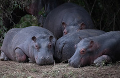 Young hippos napping