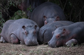 Young hippos naping