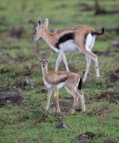 Young Thompson Gazelle
