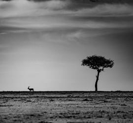 Impala silouette