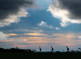 Four towering giraffes at sunset