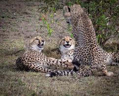Young cheetahs chatting