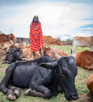 Maasai cattle herder