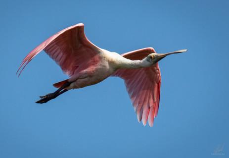 Spoonbill flyby