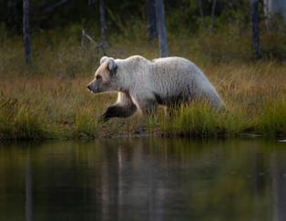 A blond brown bear